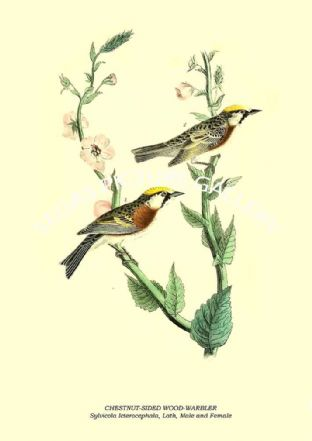 CHESTNUT-SIDED WOOD-WARBLER - Sylvicola Icterocephala, Lath, Male and Female
